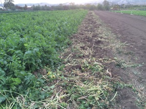 Parsnips were harvested out of this row for tomorrow's market.