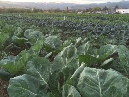 Aren't these brassicas Amazing!