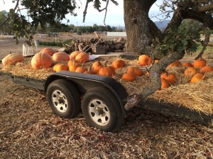 Pumpkins to sell tomorrow