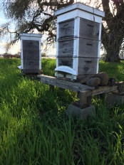 The bee hives have various degrees of activity. This one was very busy with the spring-like temperatures and numerous flowers blooming. Our insect pollinators are struggling these days, a whole other story.