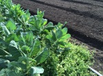 Collard is beginning to flower next to beds waiting for transplants.