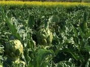 Artichokes are in full production right now.