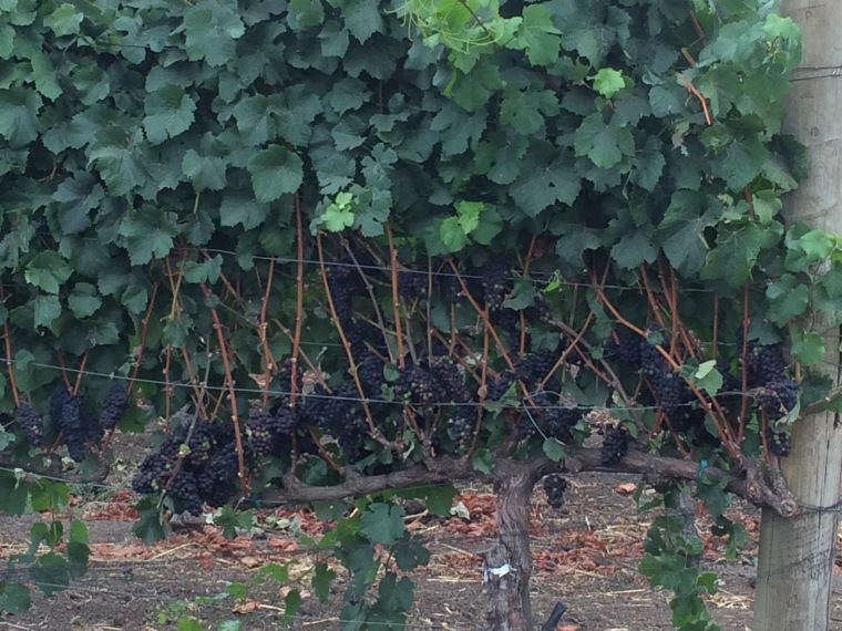 Looking across the fence, it's interesting to see how the grapes have been corralled and exposed.