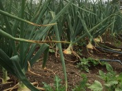 Fall's onion crop is sizing up nicely!