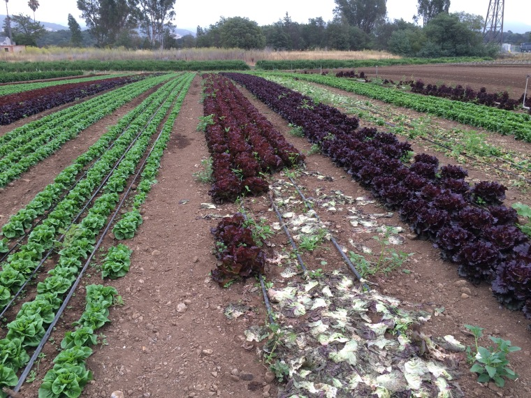 Left to right: Little Gem, Red Butter and Cherokee lettuce, full grown, this week's salad