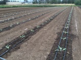 New artichoke planting. These little plants should be yielding 'chokes early next spring.