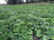 Winter squash is sizing up under a healthy leaf canopy.