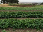 3 melons plantings at various stages of maturity.