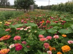 Field of zinnias behind the Farm Stand, invaded by giant pumpkins.